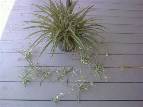 spider plant spider plant flower www pixshark com images galleries
