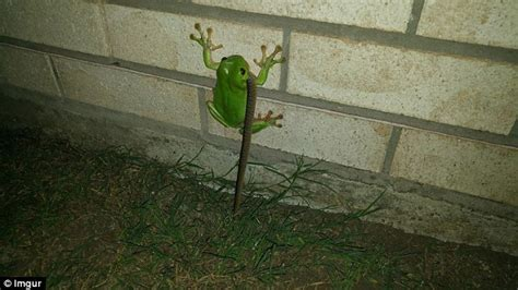 what do backyard frogs eat green tree frog in australia eats a snake in reddit post