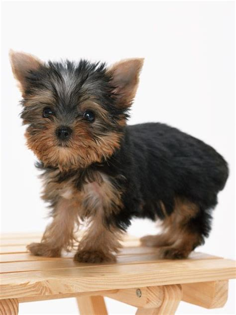 yorkie buy 25 best ideas about terriers on terrier puppies