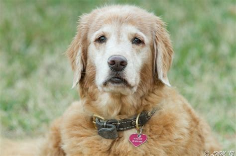 golden retriever age maggie golden retriever age 11 butterfly and wildlife gardening and photography