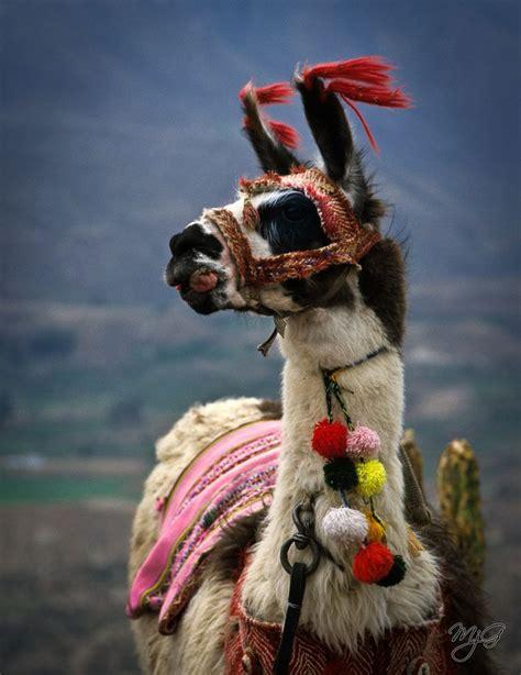 Gorgeous Alpaca From by Beautiful Llama Posing I Definitely