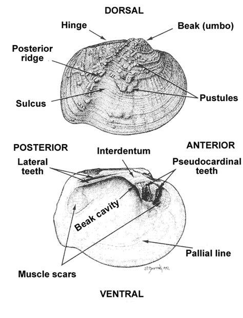 Freshwater Mussels Anatomy