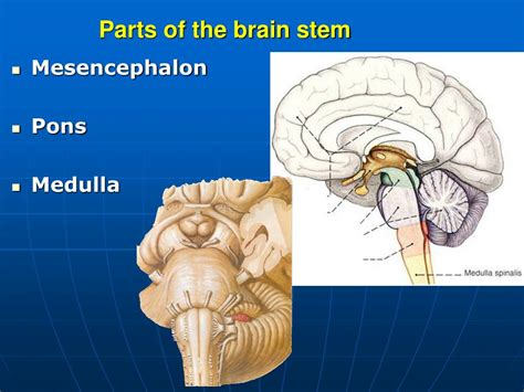 sections of the brain stem sections of the brain stem 28 images brainstem