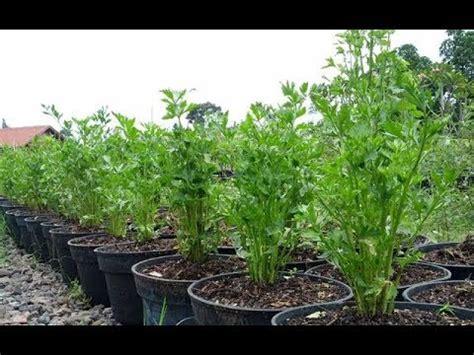 teks prosedur membuat tanaman hias cara membuat tanaman hias dengan menanam seledri dalam pot