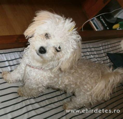 havanese kutya elad 243 bichon havanese szuka kutya h 225 zi 225 llat kutya hirdet 233 s ehirdetes ro