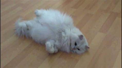 white fluffy white fluffy cat sleeping on back
