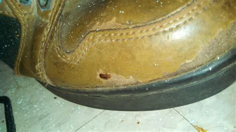 bed bugs in shoes bed bug on shoe in asbury park nj