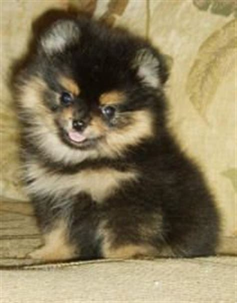 how much is a teddy pomeranian 1000 images about my obsession w pomeranians on teddy pomeranian