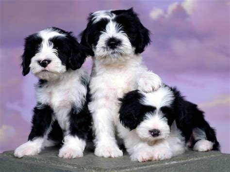 tiny puppy tibetan terrier all small dogs wallpaper 14496867 fanpop