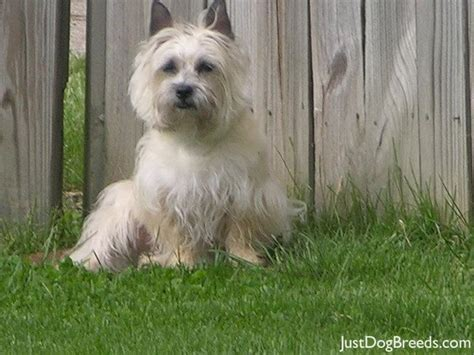 Norwich Terrier Shedding by Puppies That Dont Shed Or Dander Breeds Picture