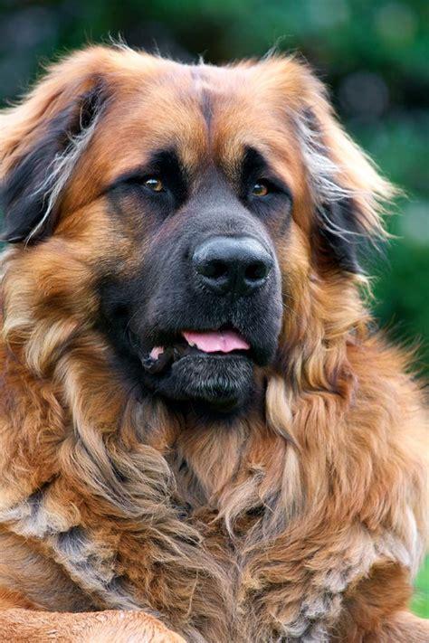 leonberger dogs leonberger