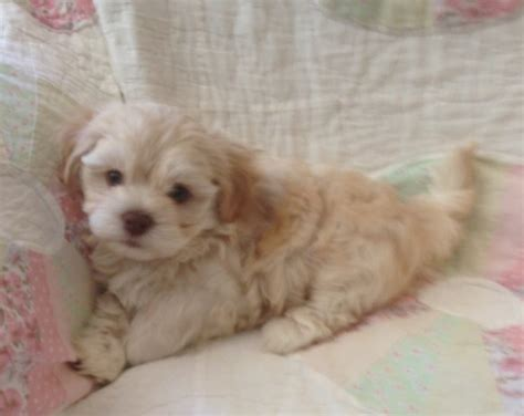 royal canin havanese akc havanese pups available to go to their forever homes on august 9 2015 hush