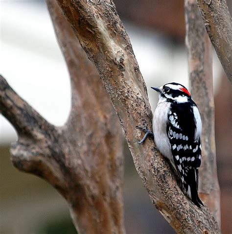 downy woodpecker with feathers fluffed for warmth as the
