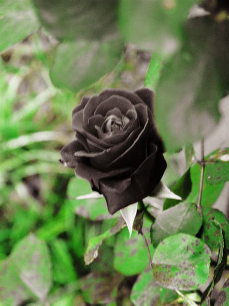 Black Rose Ii By Looking For Hope On Deviantart Black Roses For