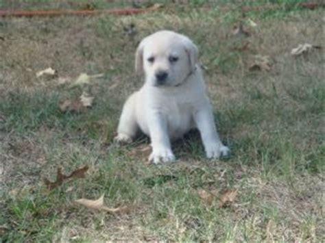 blooded lab puppies for sale in sc labrador retriever puppies in south carolina