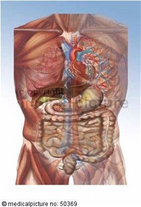 wo liegen welche inneren organe transparenter torso mit organen doccheck pictures