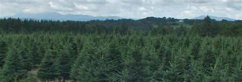 vermont pine xmas trees wholesale trees nh vt tree association