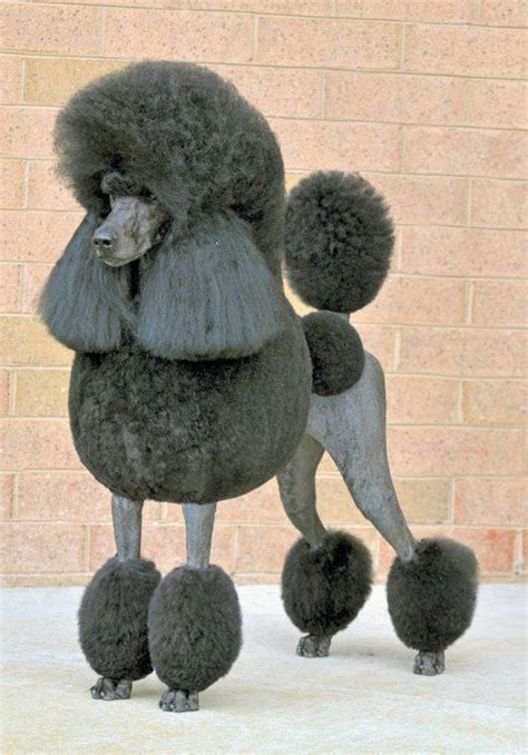 continental poodle grooming styles black standard poodle in continental clip the most