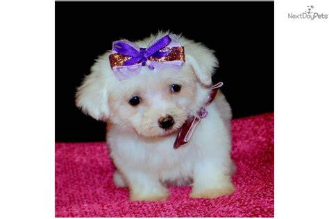 maltese puppy price maltese puppy for sale near springfield missouri 8c623e42 49d1