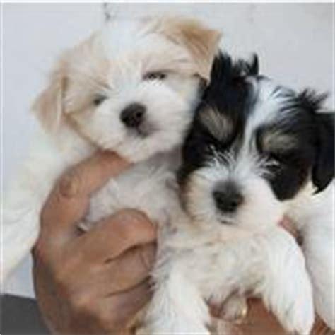 newborn havanese puppies newborn havanese puppy pictures jpg hi res 720p hd
