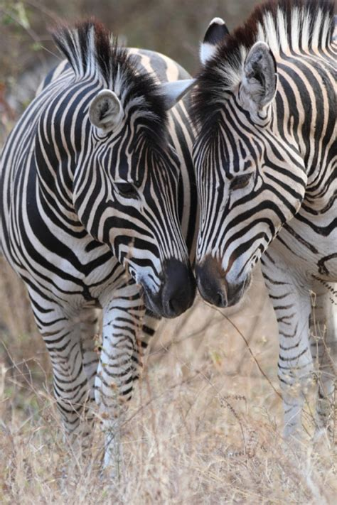 Paking Tutup Klep Zebra 1 0 zebras on