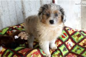 Aussiedoodle puppy for sale near columbia jeff city missouri