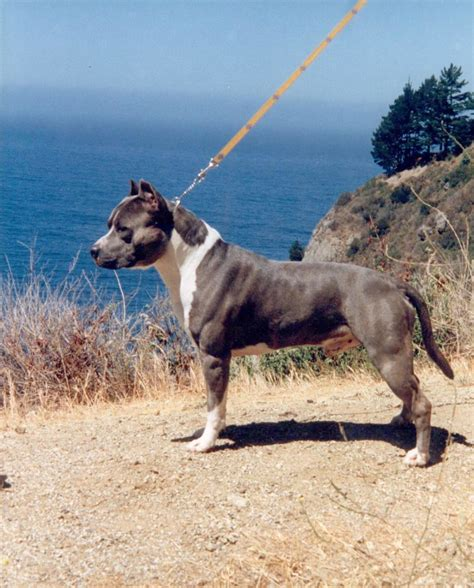 american staffordshire terrier breed guide learn