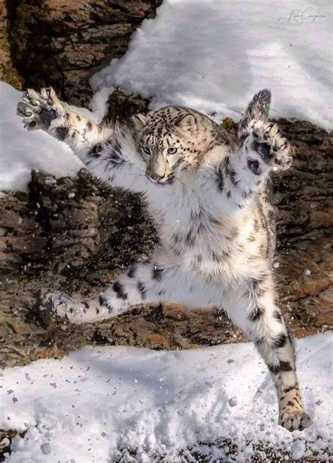 caught   act leaping snow leopard meme guy