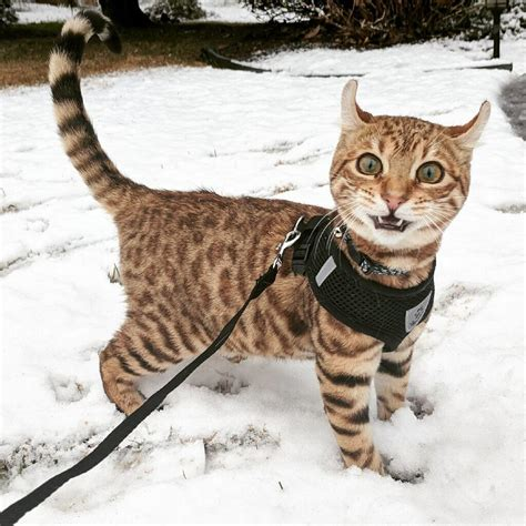 Kuas Cat 3in my friend s cat saw snow for the time today