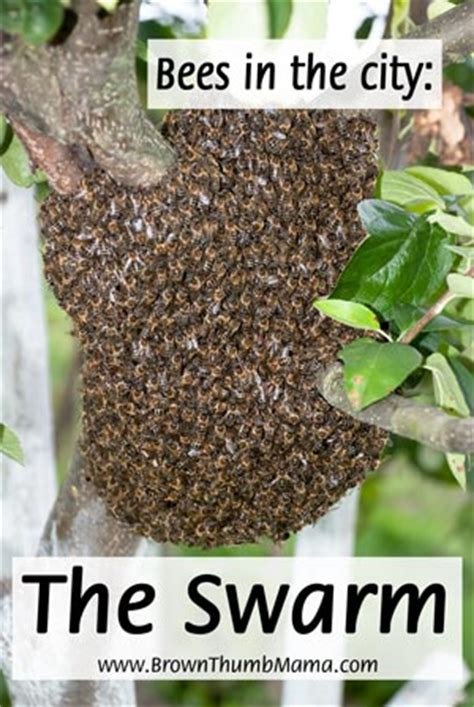 keeping bees in the city the swarm brown thumb