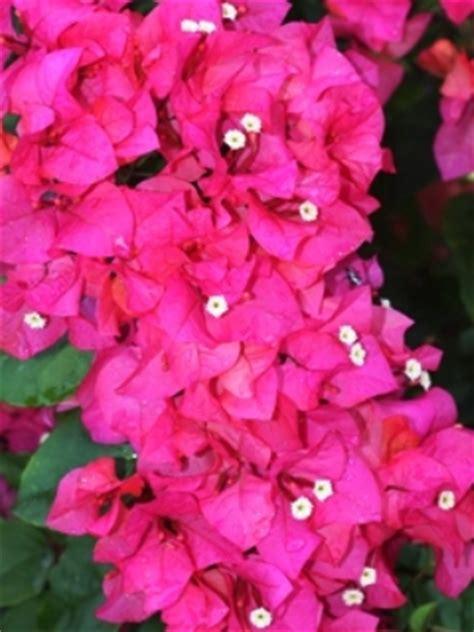 Bibit Bunga Kertas cara menanam bunga kertas di pot tanamanbaru