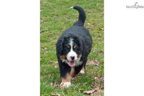 bernese mountain puppy for sale near sioux city iowa be7a5dfc c661 bernese mountain for sale for 1 000 near columbia jeff city missouri