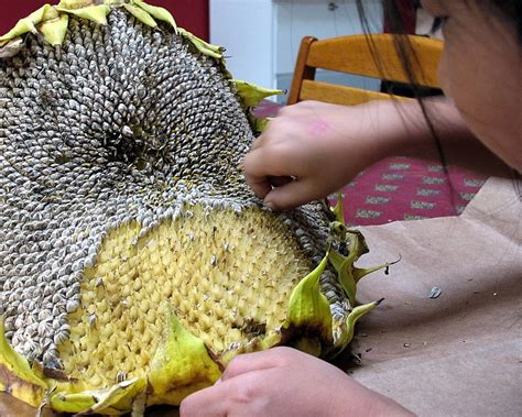 how to harvest and roast your own sunflower seeds big