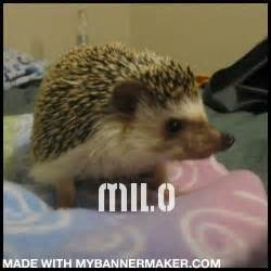 my keeps scratching my hedgehog keeps scratching herself hedgehog central hedgehog pet care owner