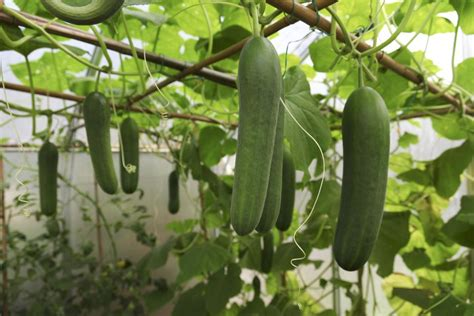 Companion Plants for Cucumbers in the Garden