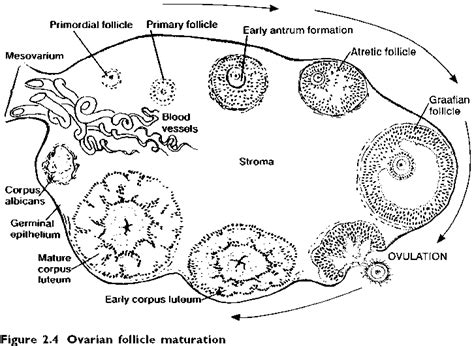 section of ovary ovary