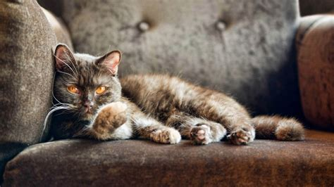 couch cat cat on sofa hd wallpapers