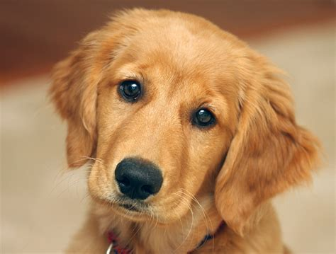 pictures of baby golden retrievers dogs with piercings breeds picture