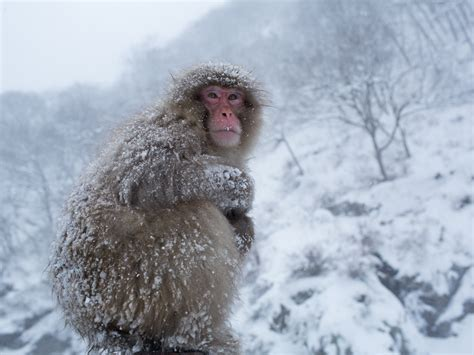 snow pictures japanese macaques snow monkeys of japan pictures cbs