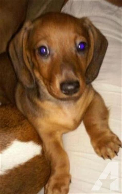 dachshund puppies for sale in houston akc miniature dachshunds for sale in louisiana breeds picture
