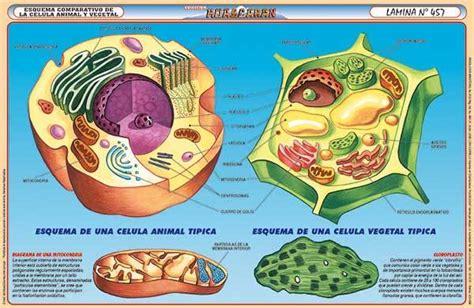 fotos de celulas animais c 233 lulas vegetales vs c 233 lulas animales cuadros