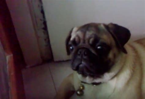 pug ears pug has best response when he hears an engine revving