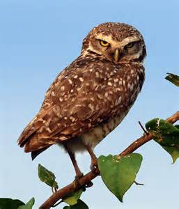 pictures of owls for burrowing owl