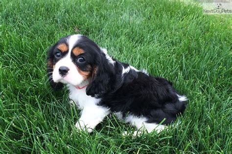 king charles cavalier puppies ohio cavalier king charles spaniel puppy for sale near akron canton ohio 439c1a08 40f1