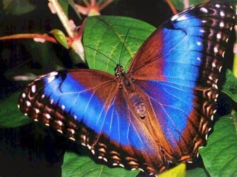imagenes mariposas mas bonitas mundo curiosidades del mundo la incre 237 ble mariposa morpho