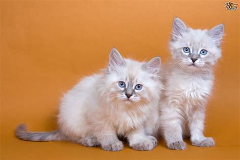 The Imperial Siberian Forest Cat   Pets4Homes