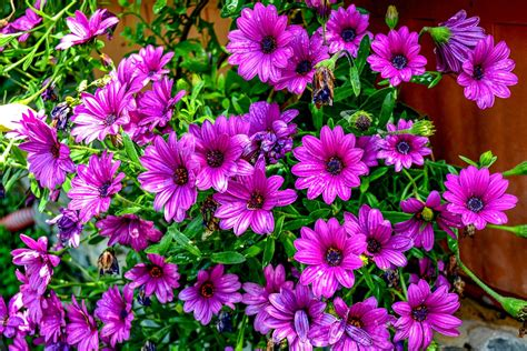 margherite fiori coltivare margherite guida per principianti