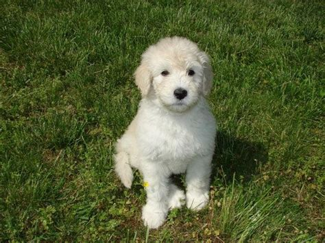 pyrenees mix puppies great pyrenees poodle mix breeds picture