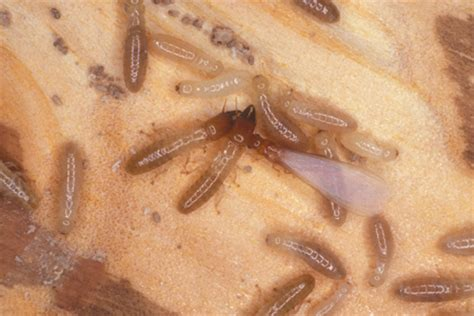 drywood termite control coupons   home evaluation
