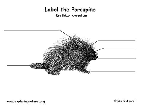 porcupine diagram porcupine labeling page